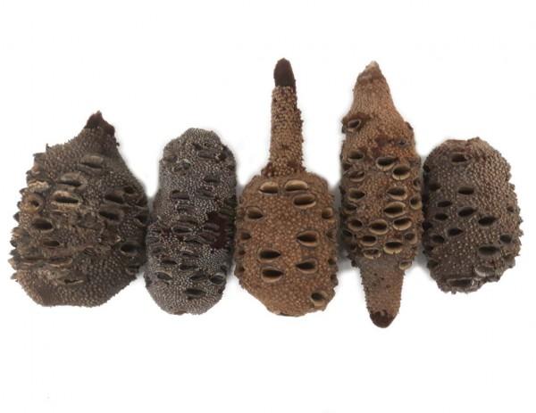 Banksia-Zapfen Paket